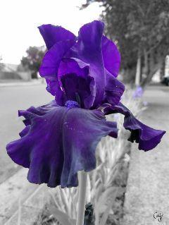 freetoedit flower iris purple colorsplash
