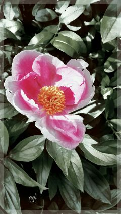 @csefi pfingstrose photography flower inmygarden