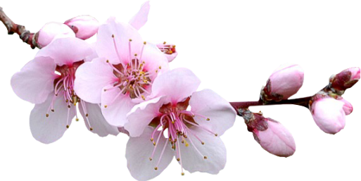 #cherryblossom #blossom #floral #ftestickers