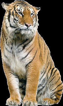 tiger bigcat wild sitting freetoedit