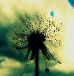 nature naturephotography shilouette dandelion photography
