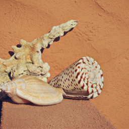 conches coral seatreasures naturesbeauty wallbackground