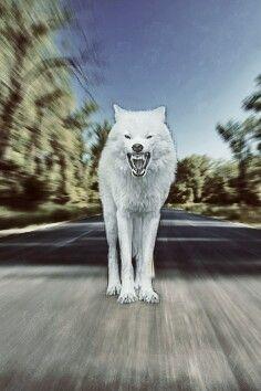 Wolf Wallpaper Angry Phone Animal Like Lovewolf Love