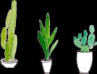 kaktus cactus cactuslover plant freetoedit