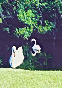 swans nature morning myrtkebeach peace freetoedit