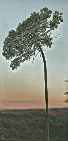 queenannslace flower sunset nature