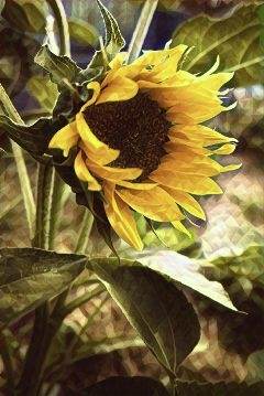 staygoldmagiceffect sunflower summer summerstory photography