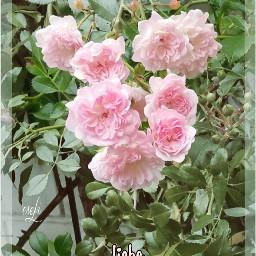 roses frommygarden natur postcard @csefi