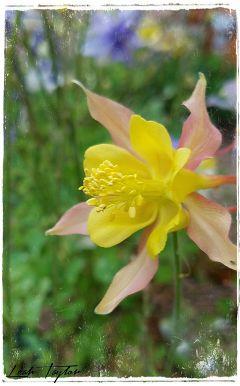 freetoedit flower columbine mygarden colorado