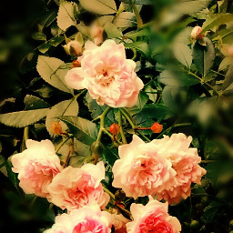 roses frommygarden effects nature @csefi