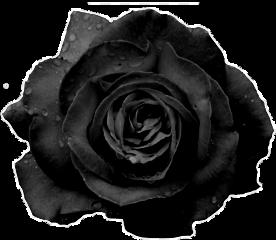 rose black freetoedit