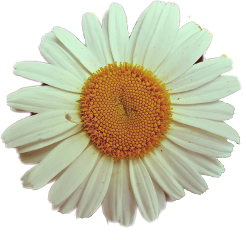 flower daisy white yellow nature