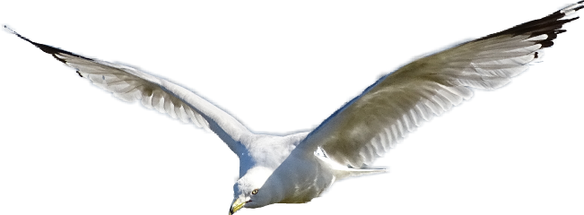 seagull flight flying wings freetoedit