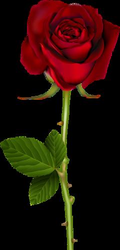 red rose freetoedit