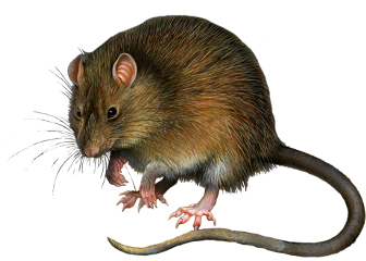 rat rata animal freetoedit