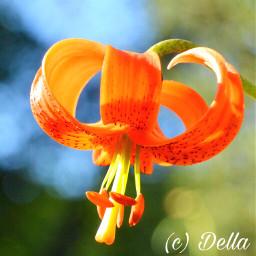 lily lilie orangeflower flowers botanicalgarden freetoedit