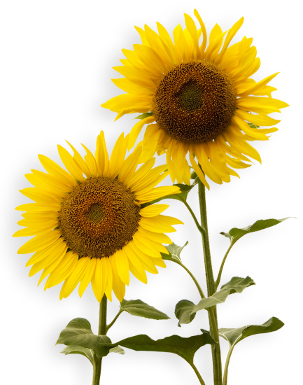 Sunflowers yellow brown flowers two green leaves petals report abuse mightylinksfo