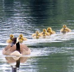 dpcinthewater pond geese birds nature