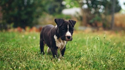photography petsandanimals puppy amstaff pitbull