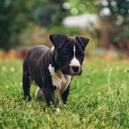 photography petsandanimals puppy amstaff pitbull