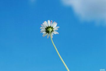 daisy background summer blue sky freetoedit