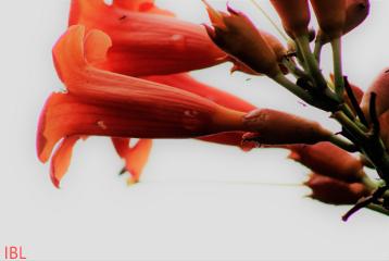 freetoedit remix remixit nature trumpetflower