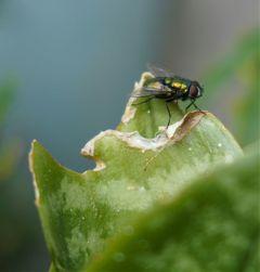 fly hunt eating instaanimal bug