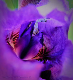 flowers flower iris nature spring