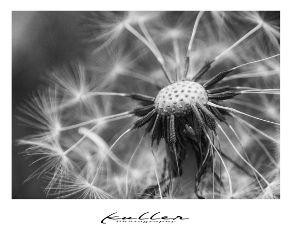 blackandwhite bnw dandelion flower macro