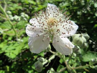 blackberry blossom freetoedit
