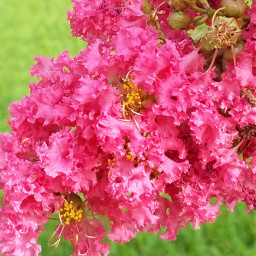 dpcpink pink blossom tree crepemyrtle freetoedit
