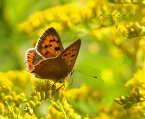 dpcbutterfly  after butterfly yellow insect nature dpcbutterfly