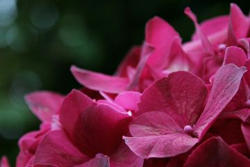 freetoedit photography flower nature hydrangea