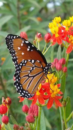 freetoedit remix dpcbutterfly nature colorful