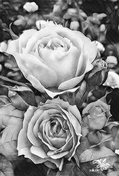 roses flowers beautiful blackandwhite highcontrast https://youtu.be/1ahfazcabay  i