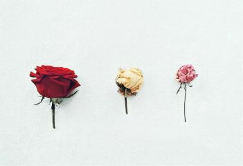freetoedit photography rose minimalism minimalist