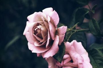 flowers rose blackandwhite closeup outandabout