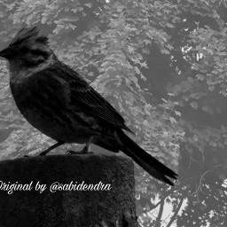 freetoedit blackandwhite monochrome cute bird