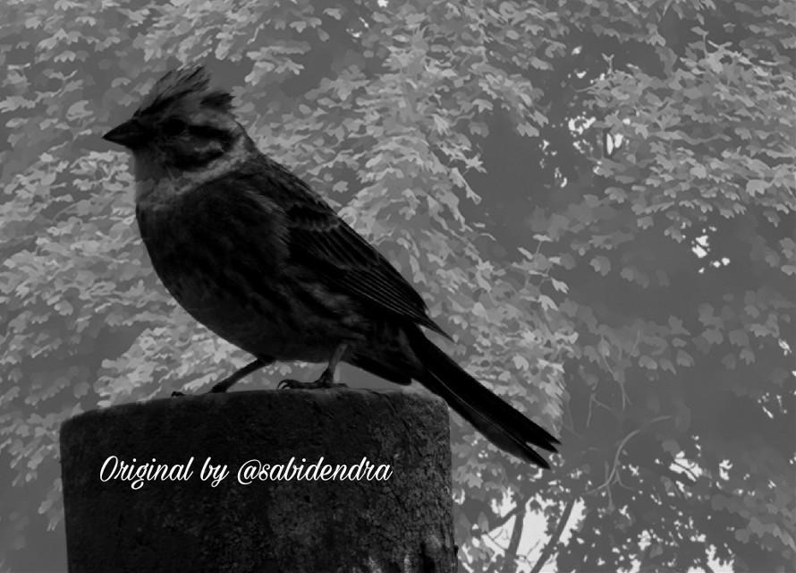 Just my simple #FreeToEdit from beautiful gallery  @simplysabi0116  Hope you like it;)0 #blackandwhite #monochrome ##cute #bird #birds #emotions #clipart #tree