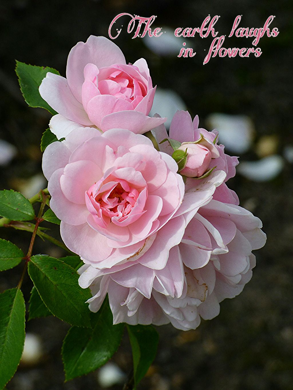 Photography Flowers Pink Roses Quotes