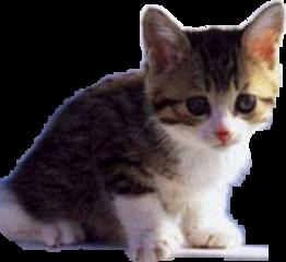 gattino carino freetoedit