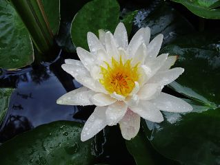 freetoedit photography flower waterlily drops