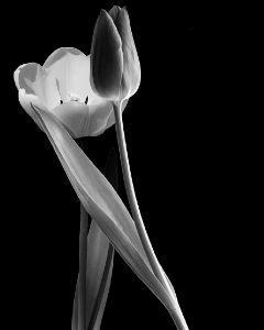 tulipani lovers truelove flowers blakandwhite