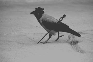 bird walk blackandwhite freetoedit photography