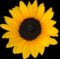 flower flowers sun sunflower sunflowers
