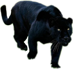 panther leopard