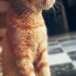 freetoedit cat pet meenu rio