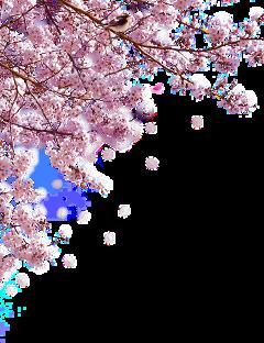 sakura japan freetoedit