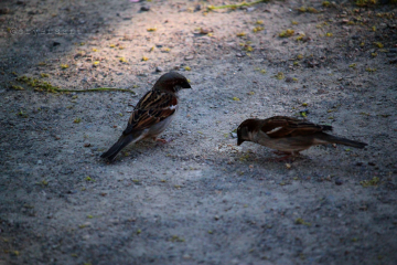 sparrow freetoedit
