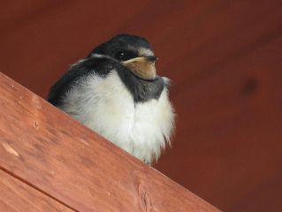 baby swallow bird